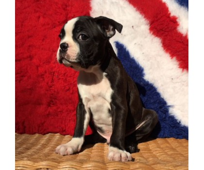 Allevamento Boston Terrier - Foto 10 -