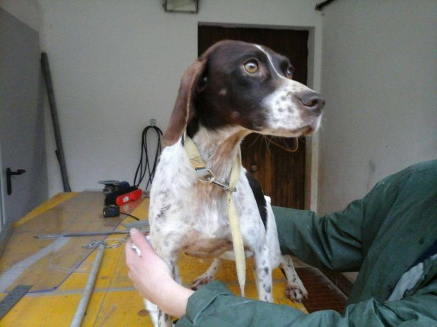 PINKY, bellissima pointer dal carattere d'oro - Foto 2