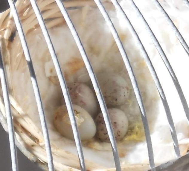 Canarini bellissimi