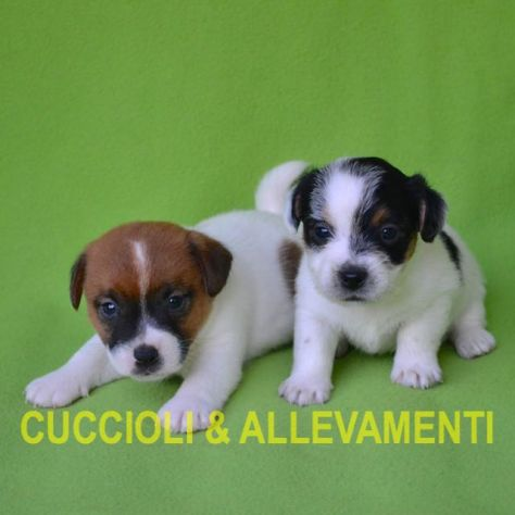 Jack Russell (Russel) Cuccioli con Pedigree - Allevamento - Foto 5