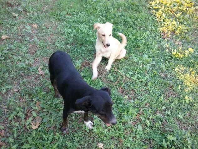 Due cagnoline dolci e affettuose mix labrador - Foto 3