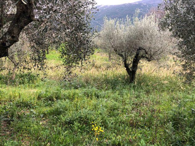 Albanella Terreno agricolo con uliveto - Foto 2