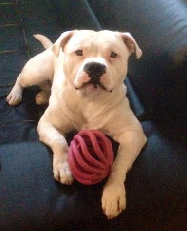 Offresi Staffordshire Bull Terrier per Monta