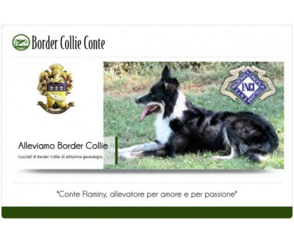 Allevamento Border Collie Conte
