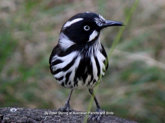 richiamo x uccelli CON telecomando e timer - Foto 9