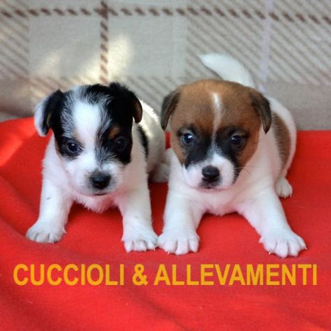 Jack Russell (Russel) Cuccioli con Pedigree - Allevamento