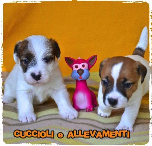 Jack Russell (Russel) Cuccioli (Pedigree/Allevamento)