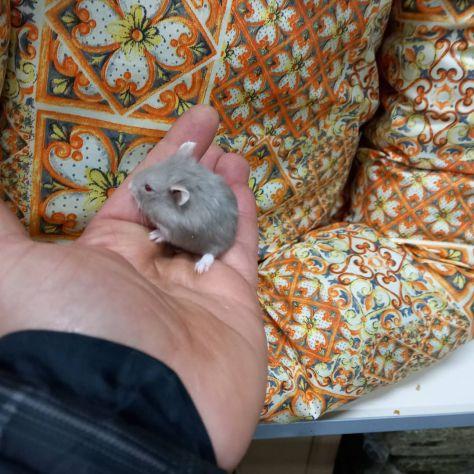 Cuccioli di criceti piccolissimi - Foto 3