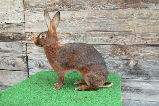 Conigli di razza lepre belga