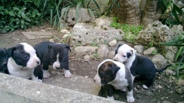 Cuccioli di Amstaff in zona Bitonto Terlizzi Molfetta Altamura Gravina - Foto 4