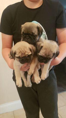 stupendi cuccioli carlini con pedigree - Foto 4
