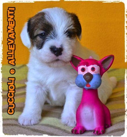 Jack Russell (Russel) Cuccioli (Pedigree/Allevamento) - Foto 4