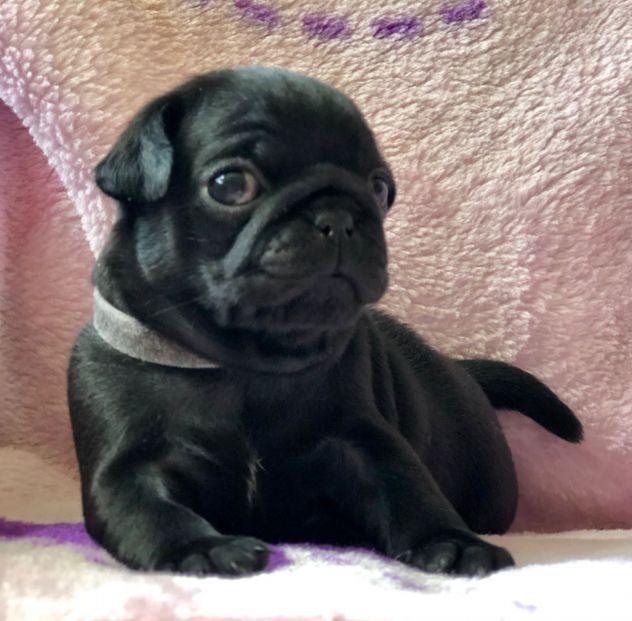 stupendi cuccioli carlini con pedigree