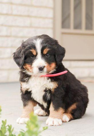 cucciola di Bovaro del Bernese - Foto 4