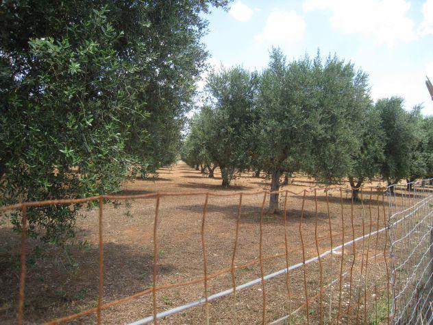 Terreno con ulivi a 900mt dal mare (Maruggio-TA) - Foto 2