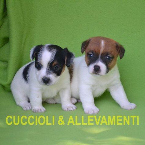 Jack Russell (Russel) Cuccioli con Pedigree - Allevamento - Foto 4