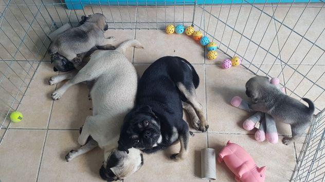 stupendi cuccioli carlini con pedigree - Foto 2