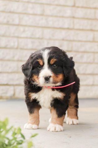cucciola di Bovaro del Bernese - Foto 2
