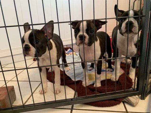 Adorabili cuccioli di Boston terrier disponibili per una famiglia amorevole e pr
