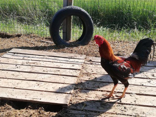 Polli Combattenti MIX
