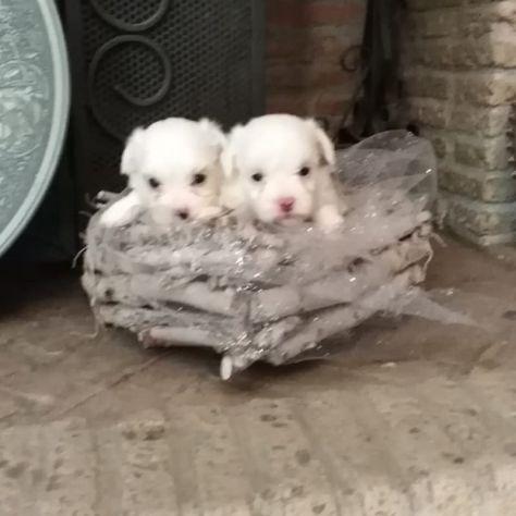 Cuccioli di maltese