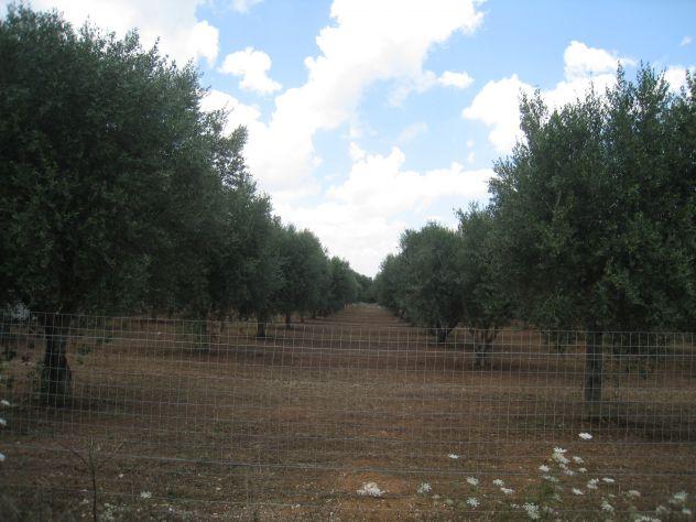 Terreno con ulivi a 900mt dal mare (Maruggio-TA) - Foto 4