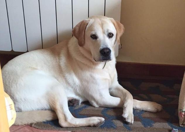 Cerco: Femmina di Labrador per accoppiamento.