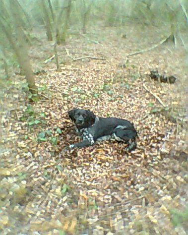 LION, cane da caccia maschio, sparito il 14 maggio 2014 - Foto 2