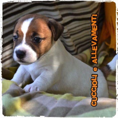Jack Russell (Russel) Cuccioli (Pedigree/Allevamento) - Foto 3
