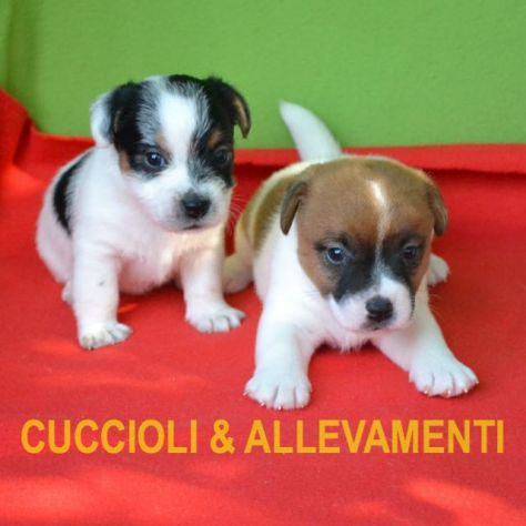 Jack Russell (Russel) Cuccioli con Pedigree - Allevamento - Foto 2