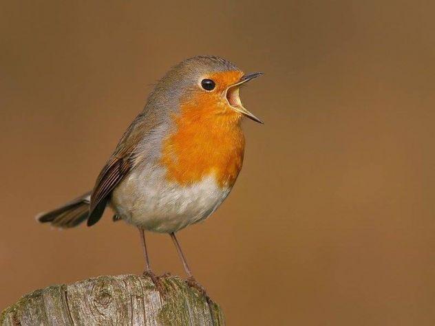 richiamo x uccelli CON telecomando e timer - Foto 2