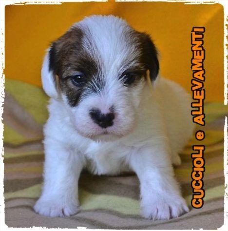 Jack Russell (Russel) Cuccioli (Pedigree/Allevamento) - Foto 2