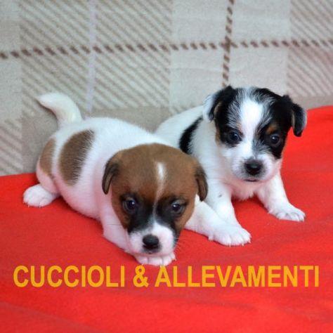 Jack Russell (Russel) Cuccioli con Pedigree - Allevamento - Foto 3