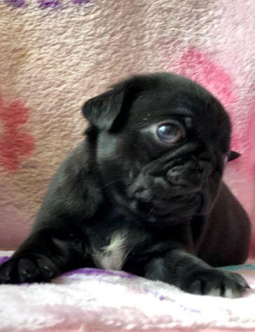 stupendi cuccioli carlini con pedigree - Foto 3