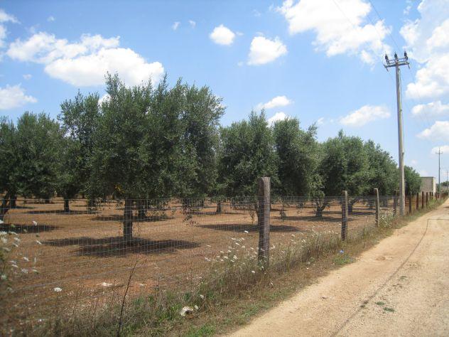 Terreno con ulivi a 900mt dal mare (Maruggio-TA) - Foto 3
