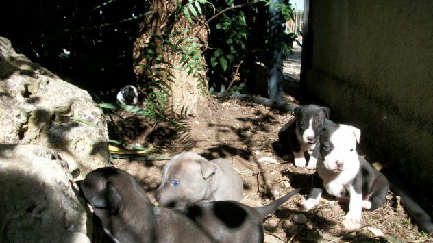 Cuccioli di Amstaff in zona Bitonto Terlizzi Molfetta Altamura Gravina - Foto 3