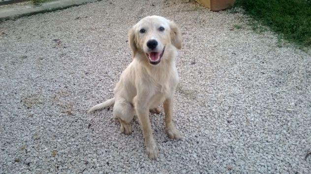 VANKAT, dolcissima cucciolona mix labrador