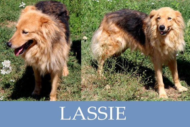 Il giovane Lassie, dolce ed affettuoso, il compagno ideale di vita