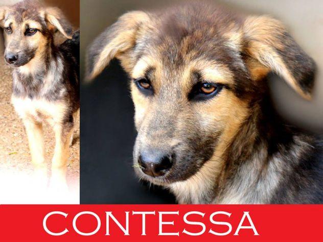 La dolcissima Contessa, meravigliosa cucciola derivato Pastore Tedesco