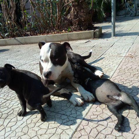 Cuccioli Amstaff Bari - Foto 4