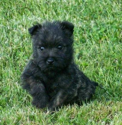 adorabili cuccioli di cairn terrier
